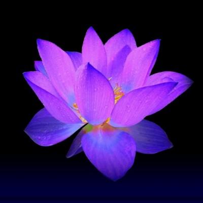lotusbeats