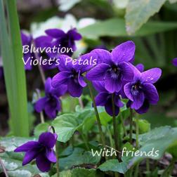 Bluvation Violet's Petals